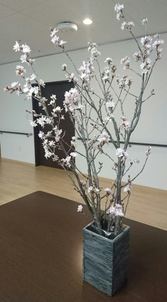 3Fホールの桜